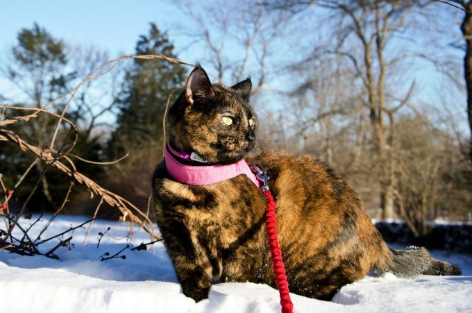 Cat Hiking in the Snow
