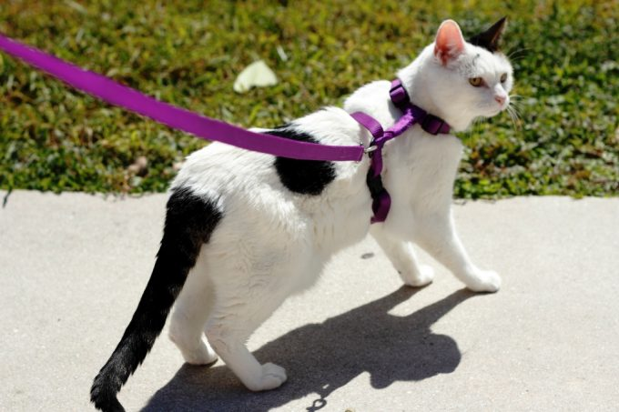 Leash Attached to a Harness