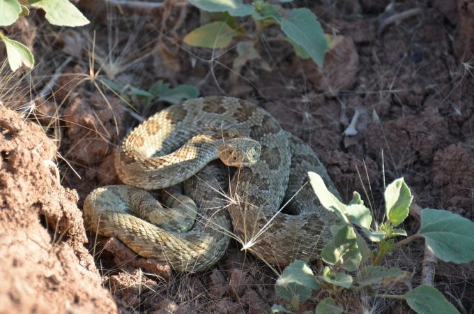Rattle Snake in a Hole