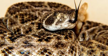 What to Do If Bitten By Rattlesnake
